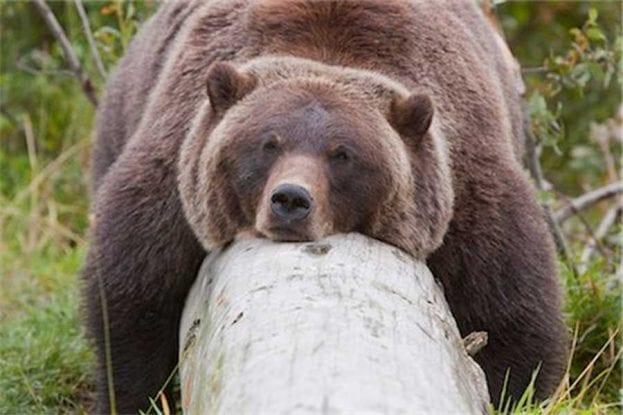 Bear sleeping on log